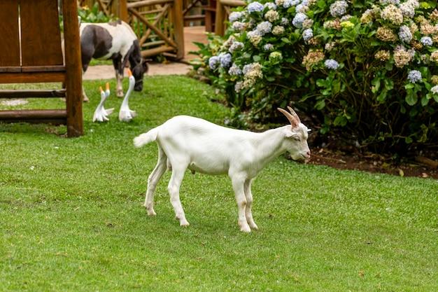 Zbliżenie na kozę w gospodarstwie.