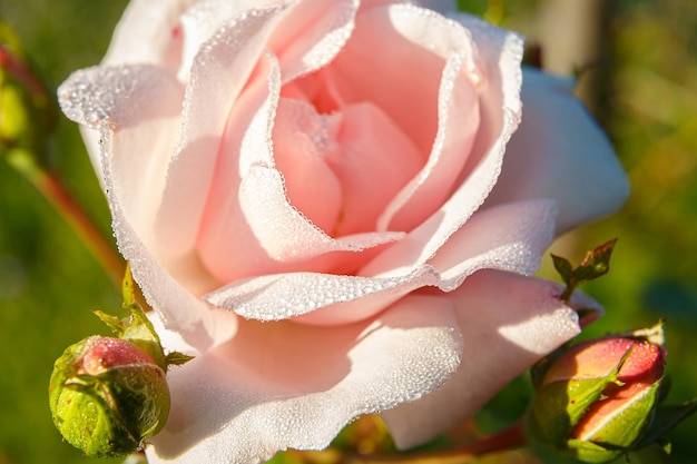 Zbliżenie na krople rosy na pięknych płatkach róż