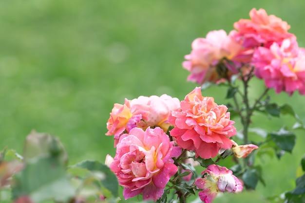 Zbliżenie na krzaki róż o delikatnym różowym kolorze.