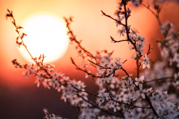 Zbliżenie na kwiat moreli z pięknym zachodem słońca w godzinach wieczornych
