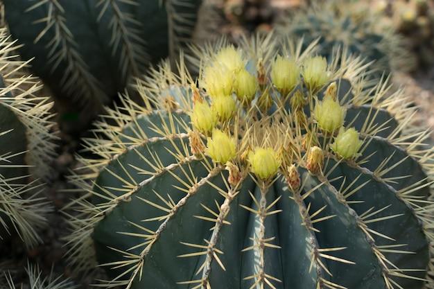 Zbliżenie na kwitnące kolczaste kaktusy, kaktusy lub kaktusy