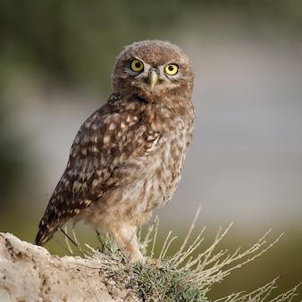 Zbliżenie na małą sowę stojącą w przyrodzie