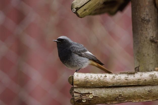 Zbliżenie na malutką czarną pleszka siedzącą na drewnianym gnieździe z rozmytym tłem