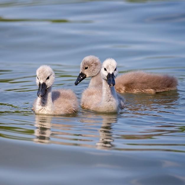 Zbliżenie na młode łabędzie nieme w wodzie
