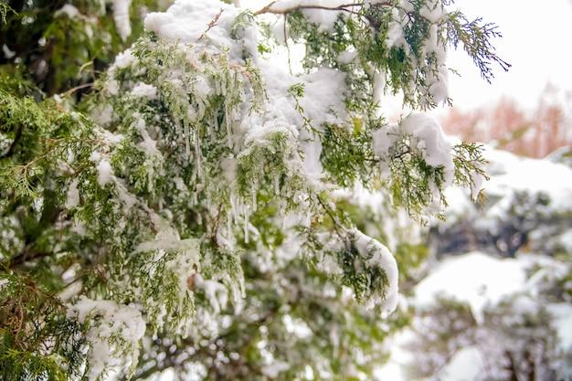 Zbliżenie na mrożone zielone gałęzie drzew w tle wczesnym mroźnym rankiem w zimie