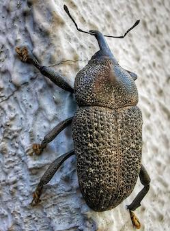 Zbliżenie na ogromnego chrząszcza na ścianie