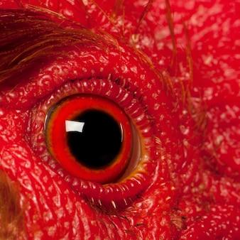 Zbliżenie na oko rooster leghorn
