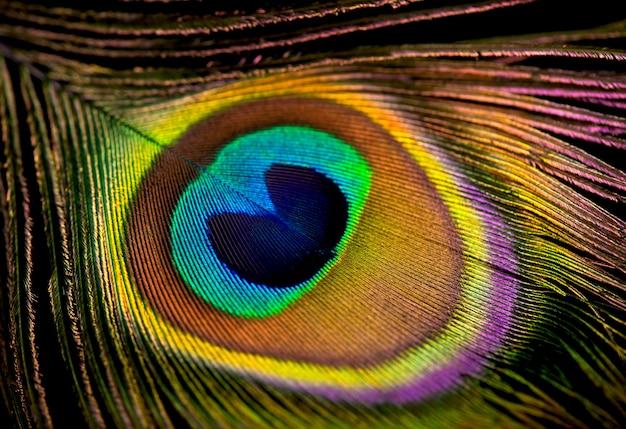 Zbliżenie na pawie pióro wypełniające ramę, jasna zwierzęca powierzchnia