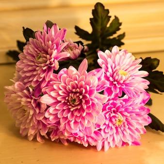Zbliżenie na pęczek ciemnoróżowych kwiatów chryzantemy z żółtymi środkami i białymi końcówkami na ich płatkach.