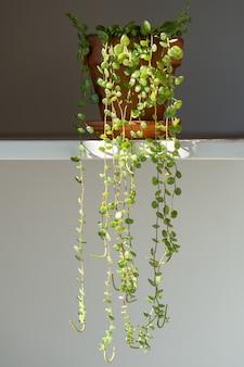 Zbliżenie na peperomię prostrata wiszącą roślinę doniczkową w domu