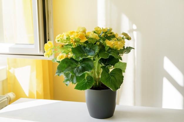 Zbliżenie na piękną żółtą begonię w doniczce przy stole obok okna. pozytywne jaskrawożółte kolory. cienie na ścianie. ogrodnictwo domowe