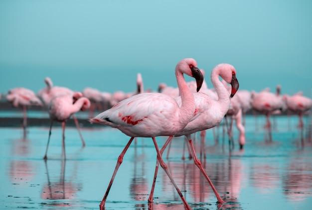Zbliżenie na piękne afrykańskie flamingi, które stoją w stojącej wodzie z odbiciem