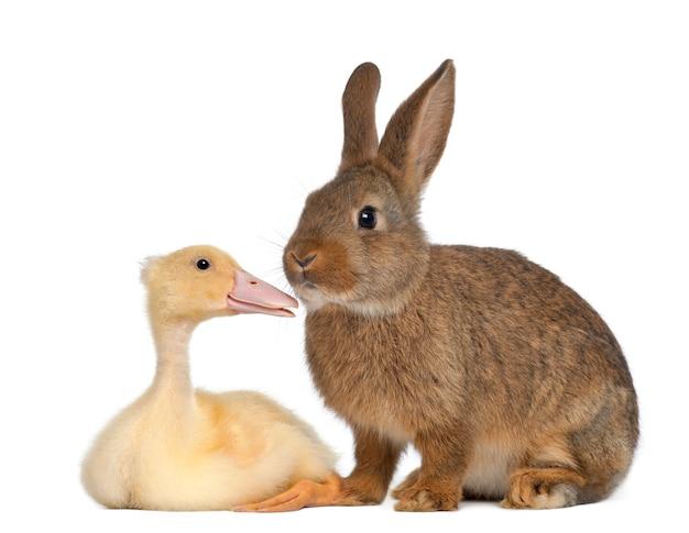 Zbliżenie na pięknego królika i kaczkę na białym tle