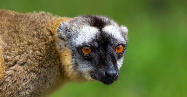 Zbliżenie na piękny lemur maki w przyrodzie