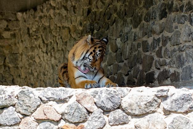 Zbliżenie na piękny tygrys, na tle kamiennego muru.