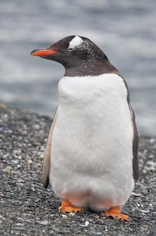 Zbliżenie na pingwina nad brzegiem morza w ushuaia