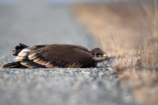 Zbliżenie na pisklę orła stepowego lub aquila leżącego w trawie