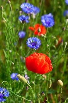 Zbliżenie na płonące czerwone maki i jasne niebieskie chabry na zewnątrz na polu pod koniec maja