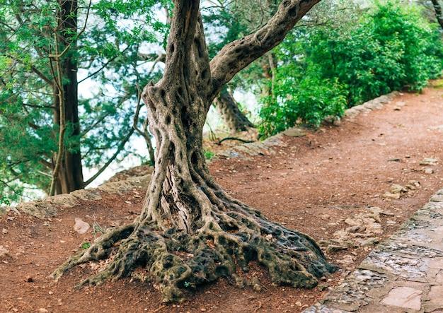 Zbliżenie na pniu drzewa oliwnego, gaje oliwne i gard