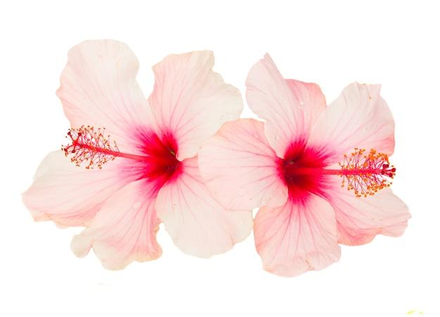 Zbliżenie na pojedyncze kwiaty hibiskusa