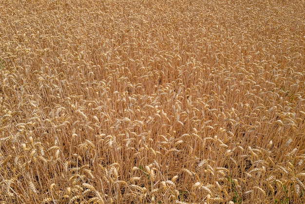 Zbliżenie na polu pszenicy w słońcu w essex w wielkiej brytanii