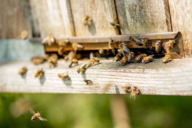 Zbliżenie na pracujące pszczoły przynoszące na łapach do ula pyłek kwiatowy. miód jest produktem pszczelarskim. miód pszczeli zbiera się w pięknych żółtych plastrach miodu.