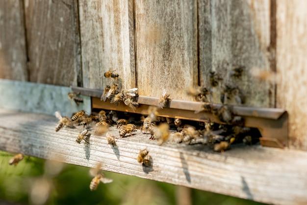 Zbliżenie na pracujące pszczoły przynoszące na łapach do ula pyłek kwiatowy.