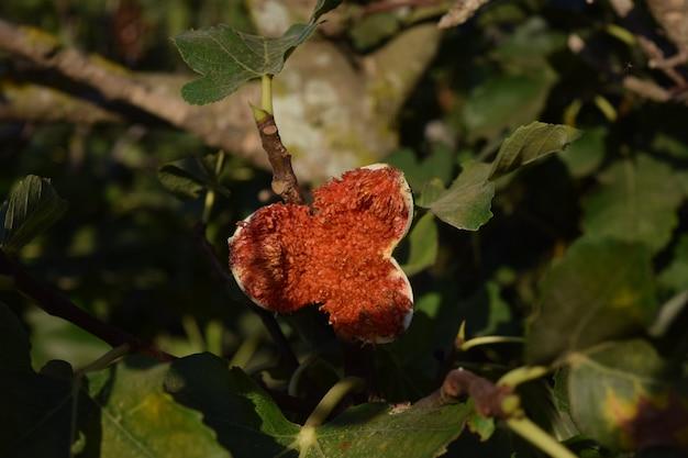 Zbliżenie na przejrzałej figi na drzewie w słońcu