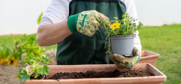 Zbliżenie na ręce kobiety doniczkowe kwiaty