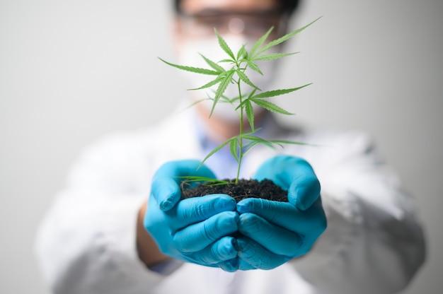 Zbliżenie na ręce naukowca zajmującego się agronomią trzymające sadzonkę konopi indyjskich wykorzystywanych w farmaceutyce ziołowej