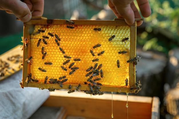 Zbliżenie na ręce pszczelarza z plastrem miodu pełnym pszczół na zewnątrz u pszczelarza wieczorem