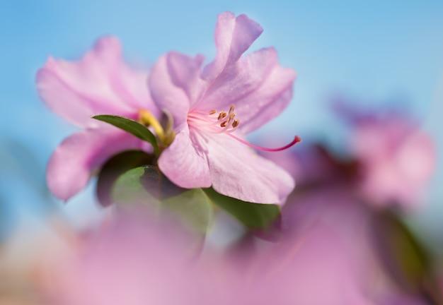Zbliżenie na rododendronowym kwiacie