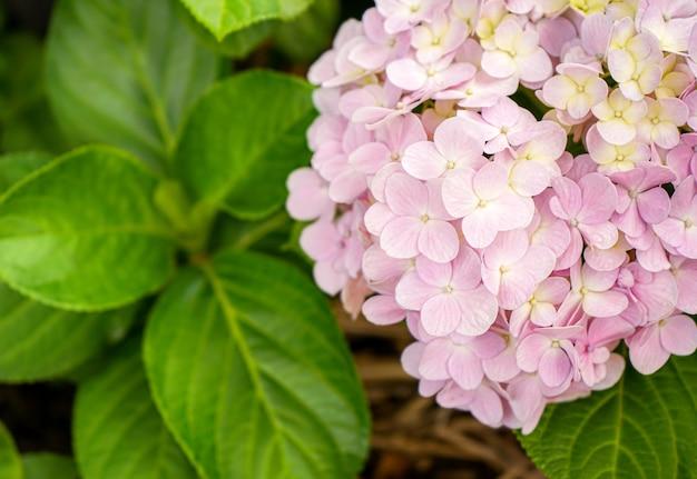 Zbliżenie na różowe kwiaty hortensji