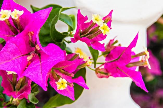 Zbliżenie na różowe letnie kwiaty bugenwilli