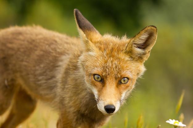 Zbliżenie na rudego lisa w przyrodzie