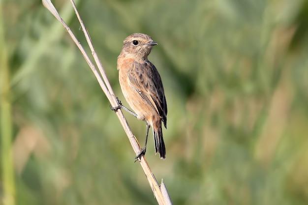 Zbliżenie na samicę pokląskwa (saxicola rubetra) siedzącą na smukłej trzcinie w łagodnym świetle dziennym