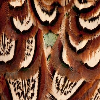 Zbliżenie na samiec bażanta zwyczajnego, phasianus colchicus, pióra