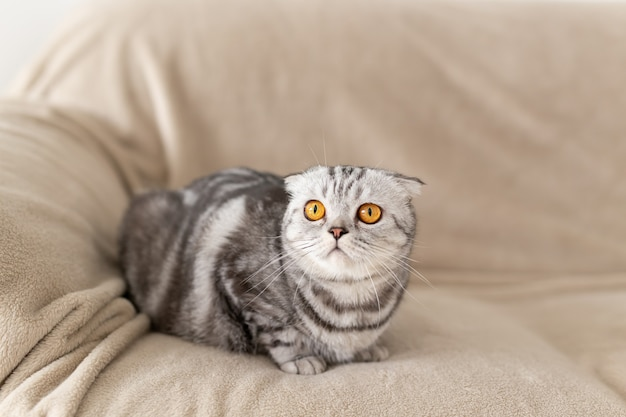 Zbliżenie na ślicznego brązowookiego, szarego szkockiego kota, który siedzi na kanapie i zwiedza nowe mieszkanie. koncepcja parapetówka dla zwierząt.