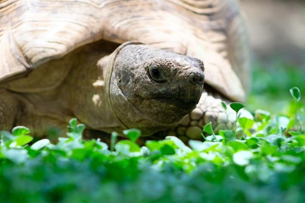 Zbliżenie na słodkiego żółwia leżącego w zielonej trawie