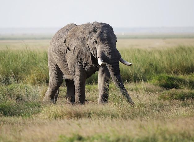 Zbliżenie na słonia chodzącego po sawannie amboseli national park, kenia, afryka