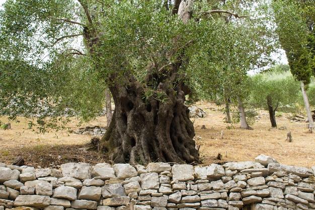 Zbliżenie na stare drzewo oliwne w ogrodzie. grecja.