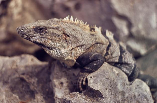 Zbliżenie na szarą iguanę wśród skał