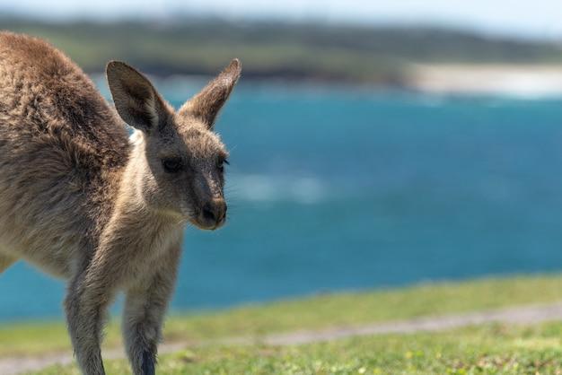 Zbliżenie na szary kangur z krajobrazem morskim w background.nature concept.wildlife concept