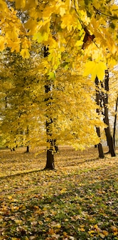 Zbliżenie na szczegóły drzew z uwzględnieniem specyfiki jesieni, słonecznej pogody, kiedy słońce oświetla pożółkłe liście.