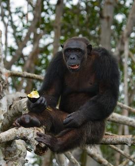 Zbliżenie na szympansa jedzącego owoce
