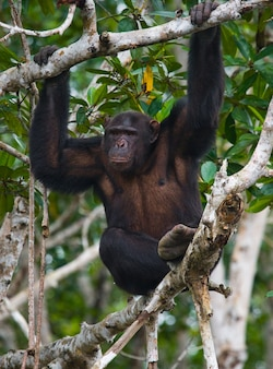 Zbliżenie na szympansa na gałęziach namorzynowych
