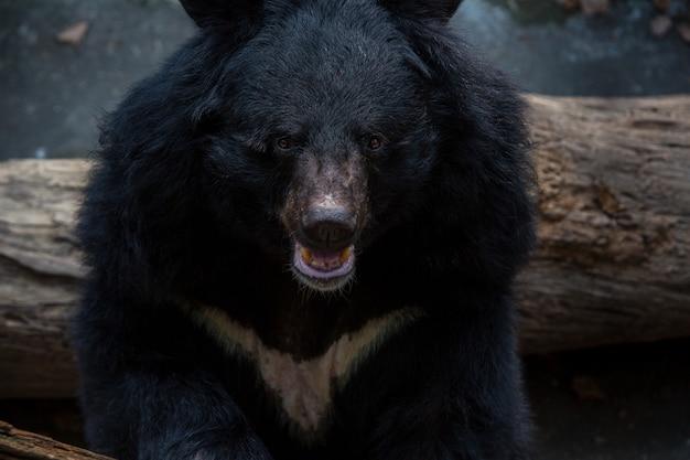 Zbliżenie na twarz dorosłego niedźwiedzia czarnego formosa w lesie w upalne lato. ursus thibetanus formosanus