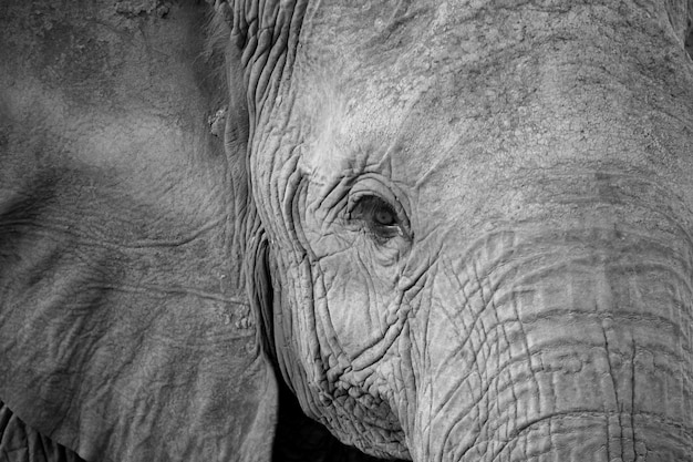 Zbliżenie na twarz jednego dużego czerwonego słonia