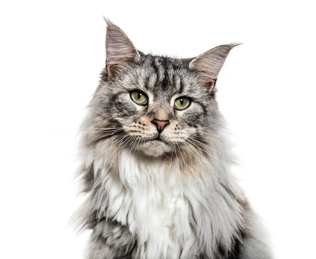 Zbliżenie na twarzy kota głównego coon, na białym tle