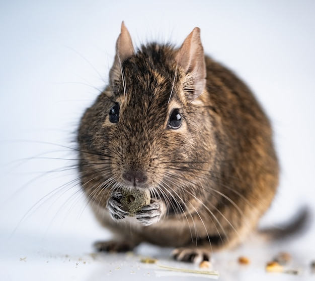 Zbliżenie na uroczą wiewiórkę jedzenie na białym tle